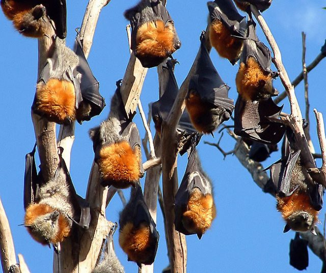 Grey-headed flying foxes. Photo Justin Welbergen, Wikimedia Commons