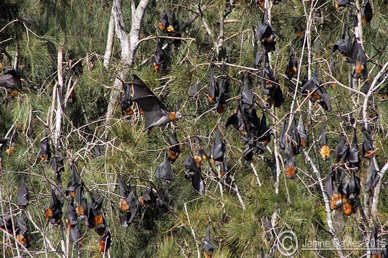 Bay Flying Fox camp decreasing