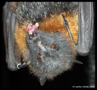 Grey-headed flying fox eats a grape