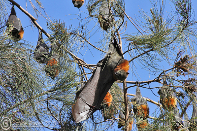 Bega bat colony threatened by potential land sale say objectors