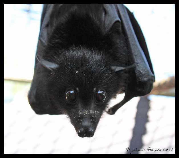 Black and spectacled flying foxes are main Hendra virus carriers, research shows