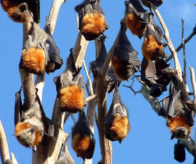 Myrtle rust has potential to cause regional extinction of iconic animals, experts say
