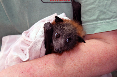 Batemans Bay Grey-headed flying foxes to be dispersed