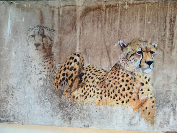 Cheetahs - Work in progress
