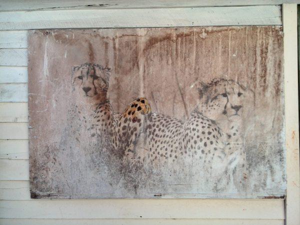 Cheetahs - Work in progress