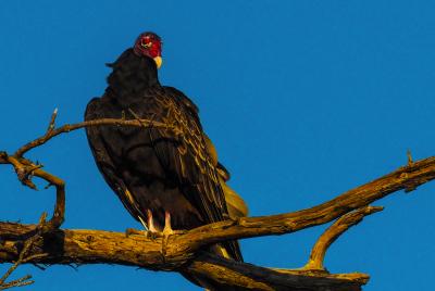 Senior Vulture
