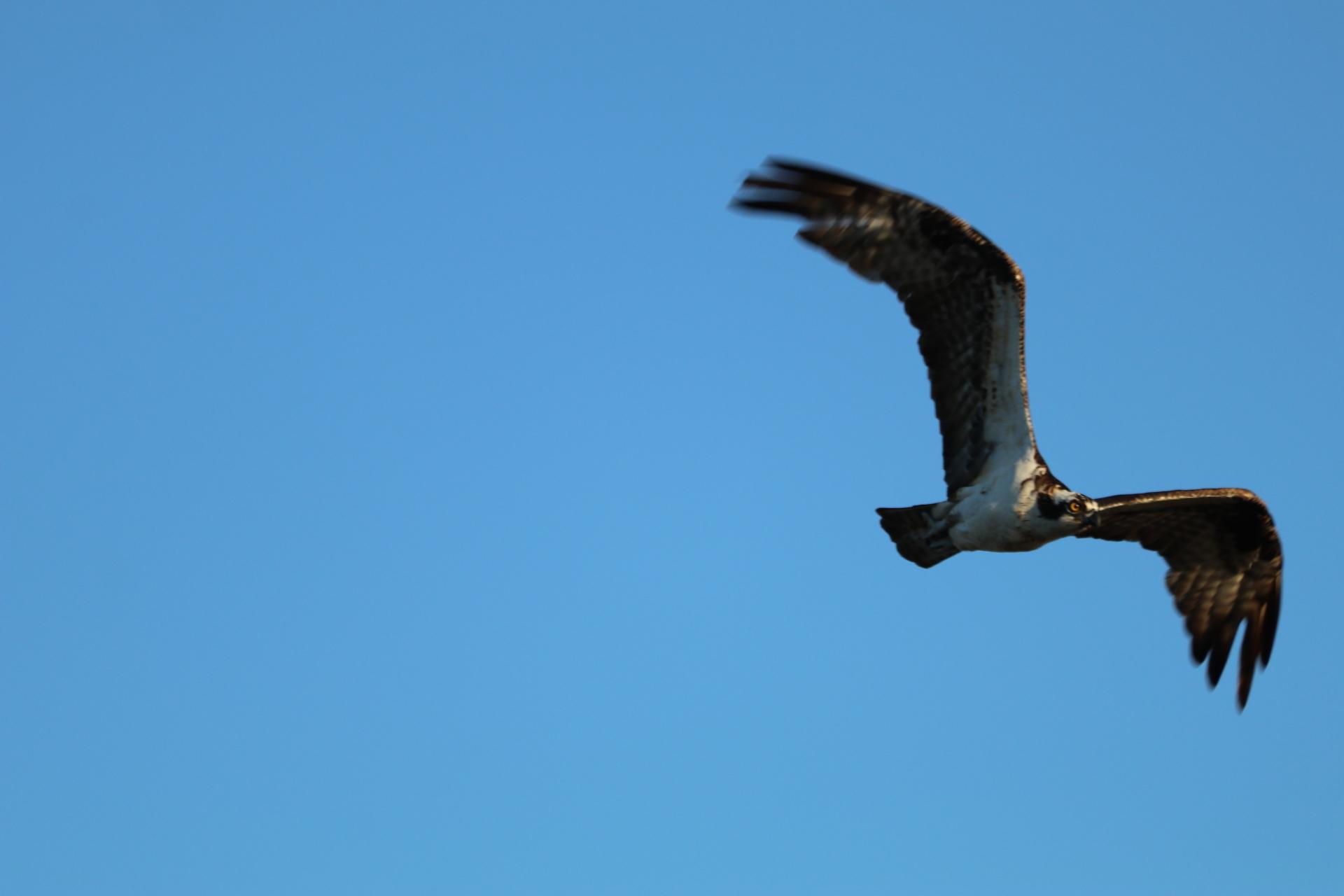 More Osprey in Flight