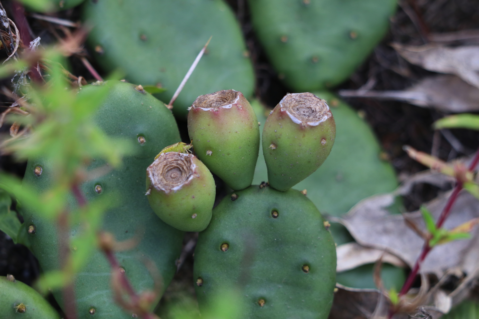Cactus buds in Williamsburg VA