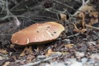 A huge Mushroom about 10cm across