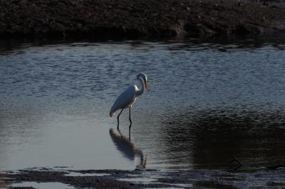 Solo Egret
