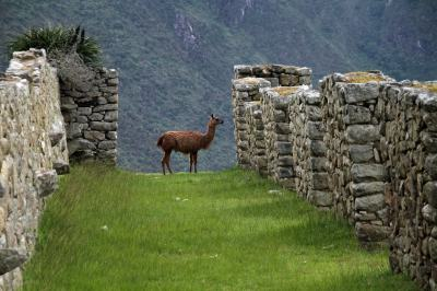 Peruvian Wanderer