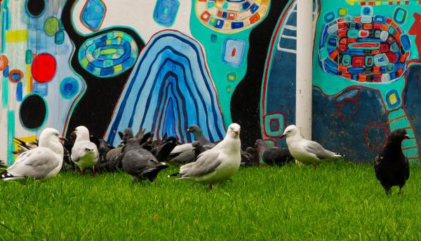 Pigeons, Wellington