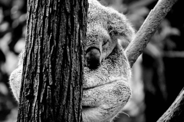 Koala, Northern New South Wales