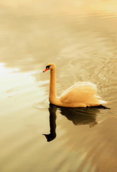 Trumpeter Swan, The Lake District