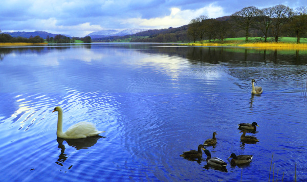 Swans and Ducks, The Lake District