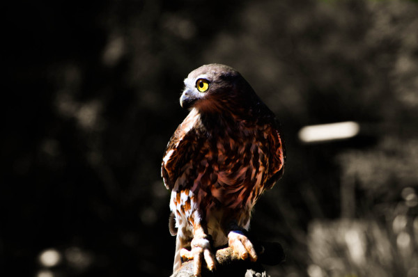 Bird of prey, Queensland Australia