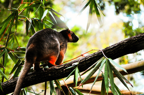Tree Kangaroo, Queensland Australia