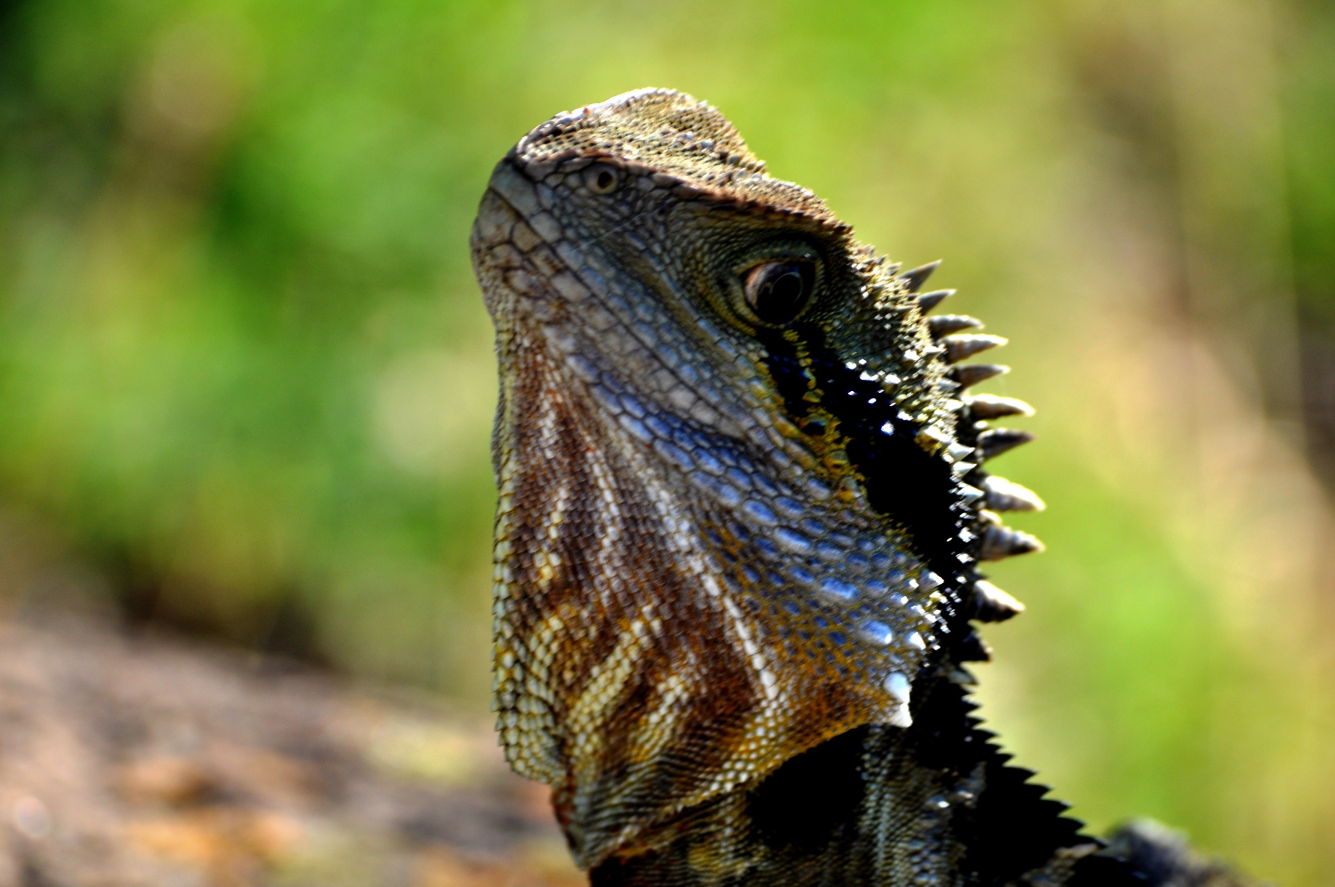 Bearded Dragon, North Queensland