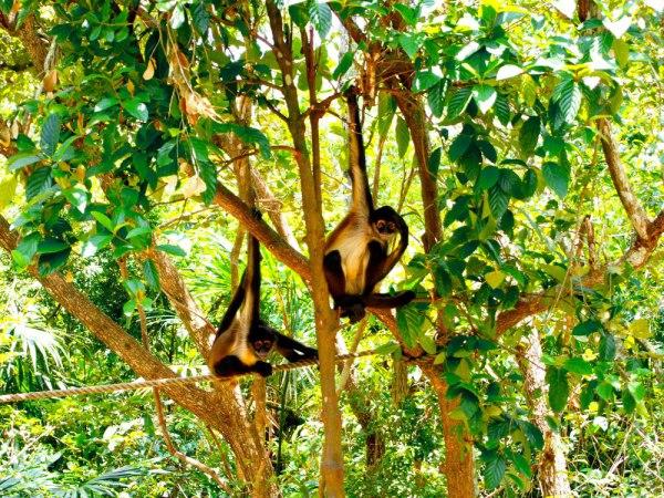 Spider Monkey, Belize