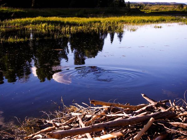 Beaver, Schwabachers Landing