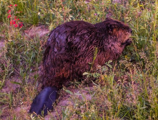 Beaver, Grand Tetons