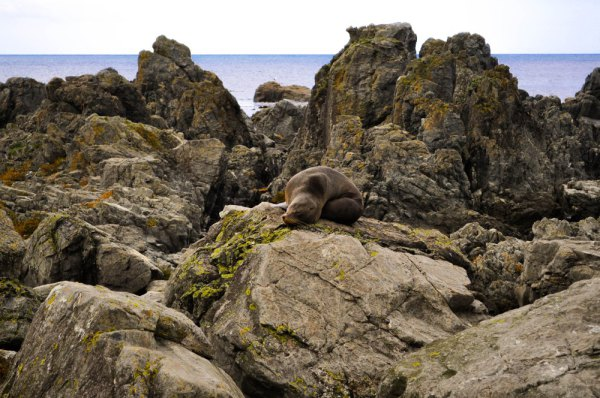 New Zealand Fur Seal, Red Rocks Wellington