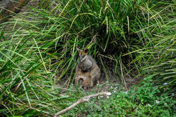 Wallaby, Queensland