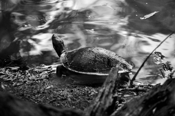Turtle, Northern New South Wales