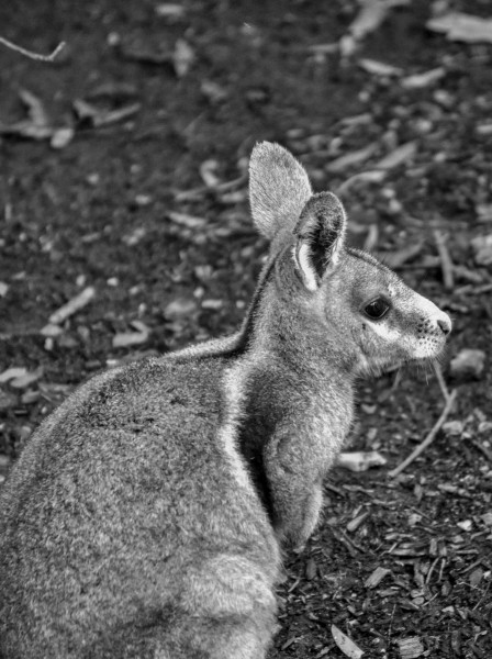 Rock Wallaby, Queensland