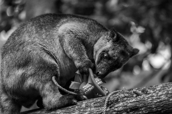 Tree Kangaroo, North Queensland