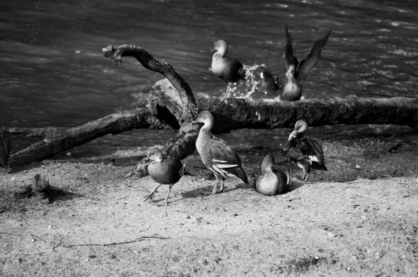 Birds of a feather, Australia