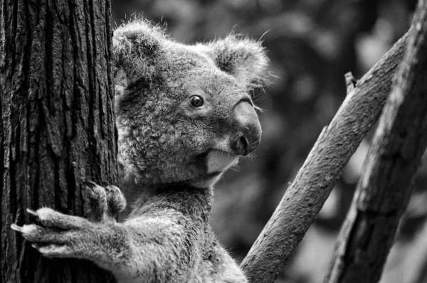 Koala,Queensland