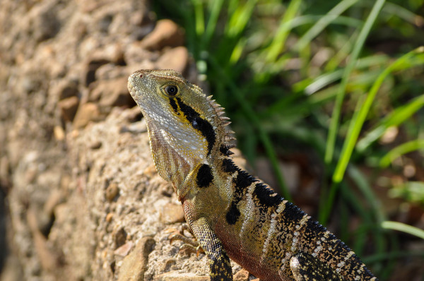 Bearded Dragon, Northern New South Wales
