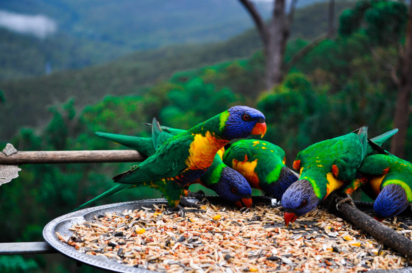 Lorikeets, South-east Queensland
