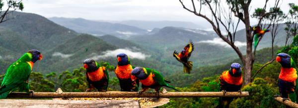 Lorikeets, Queensland