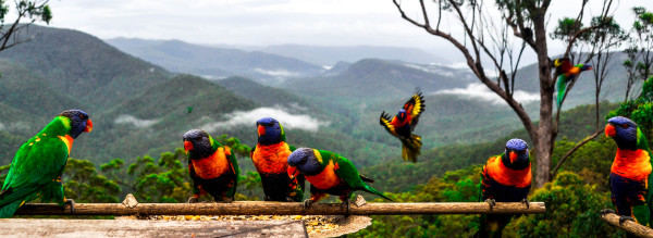 Lorikeets, Queensland