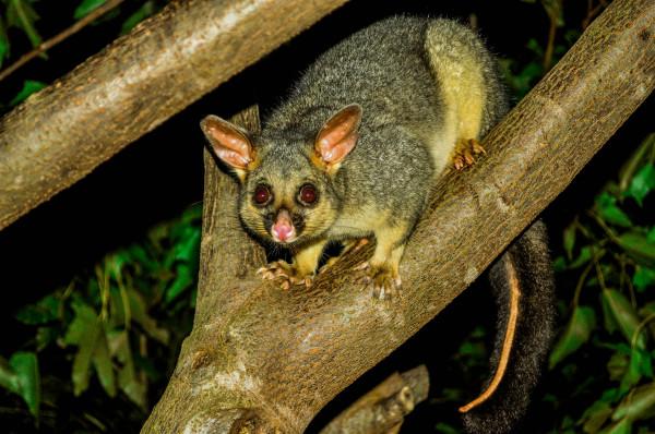 Possum, South-east Queensland Australia