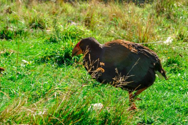Takahe, Taranaki New Zealand