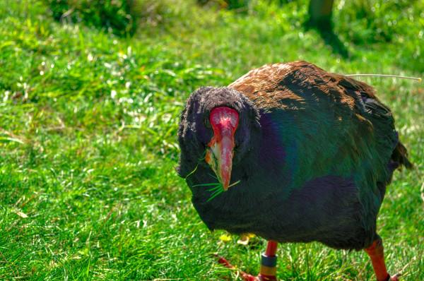 Takahe, New Zealand
