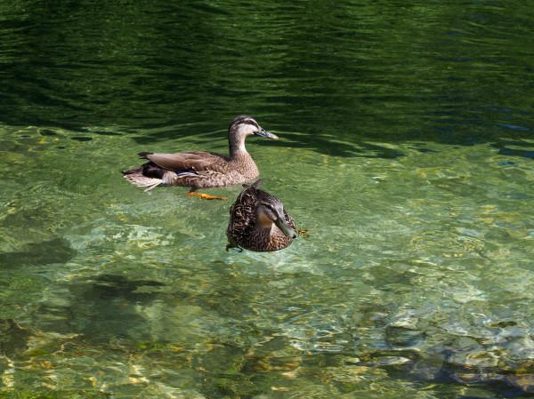 Ducks, Lake Taupo