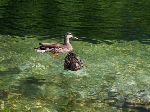 Ducks, Lake Taupo