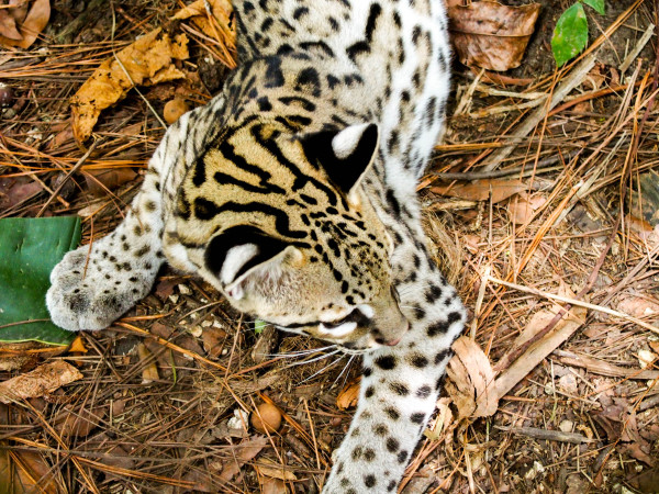 Ocelot, Belize