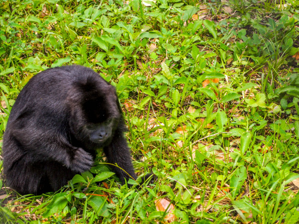 Howler Monkey, Guatemala