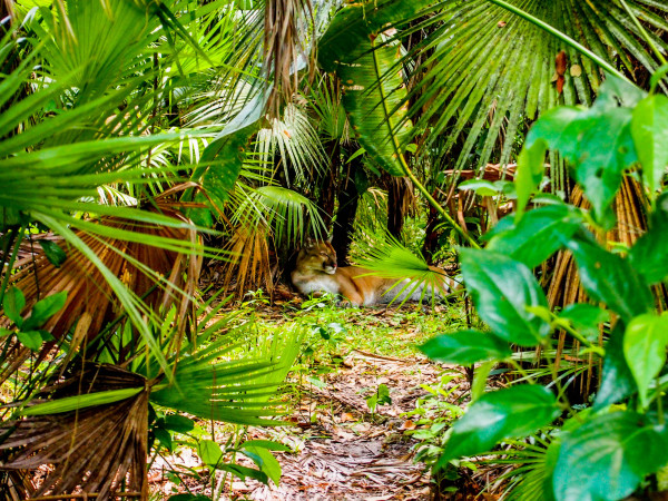 Puma, Belize