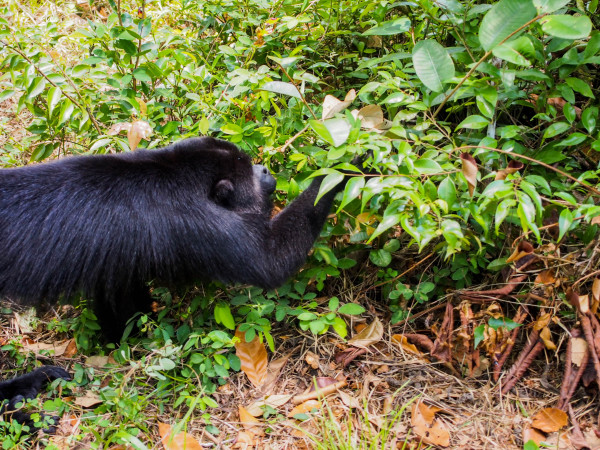 Howler Monkey, Belize