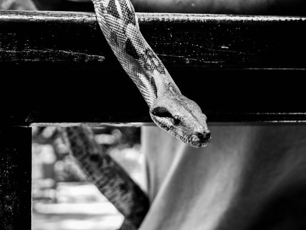 Python, Mexico