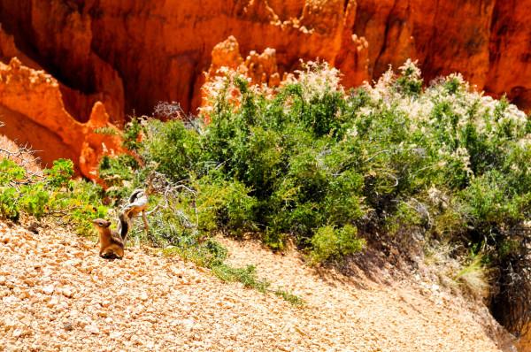 Ground Squirrel, Bryce Canyon Utah