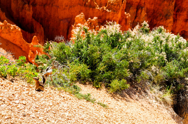 Ground Squirrel, Bryce Canyon Utah