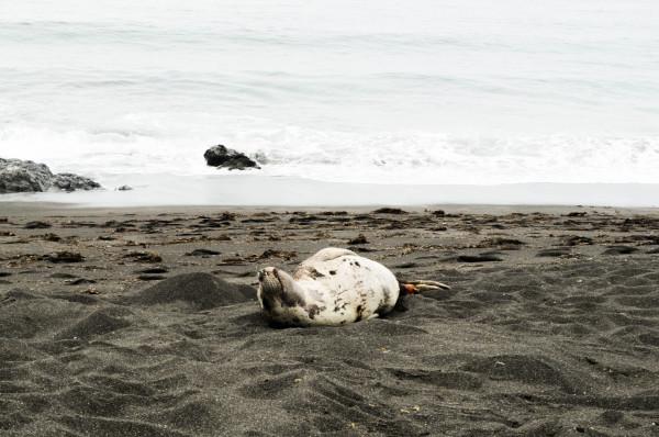 Shedding Elephant Seal, Fort Bragg