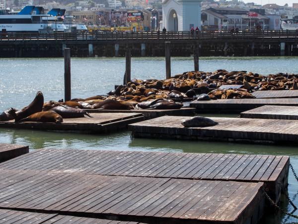 Californian Sea Lions, San Francisco